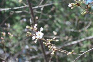 16.03.20 桜2
